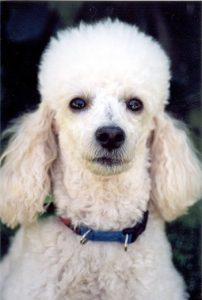 tpoodle 202x300 - 16 Breeds Of Non-Allergenic Dogs