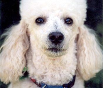 16 Breeds Of Non-Allergenic Dogs